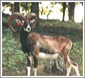 Кипрский муфлон