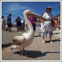 Прямо на набережной иногда можно увидеть пеликанов
